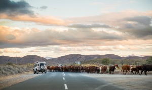 Landrover-and-cows-CREDIT-Andrea-Nixon-Andy-Nix-Pix